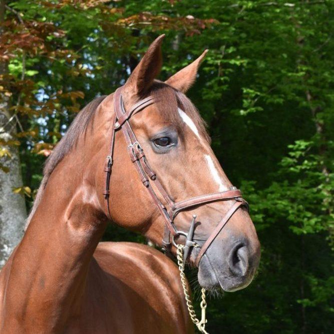 Elina de Grandry, jument née en 2014 - Par Qlassic Bois Margot et Romane de Grandry (Quickstar) - Ecurie Florian Angot